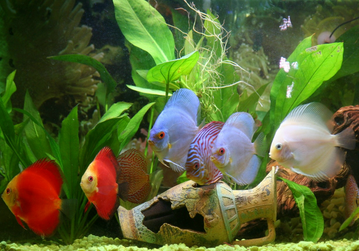 *Assorted Discus Fish  2-3 inch