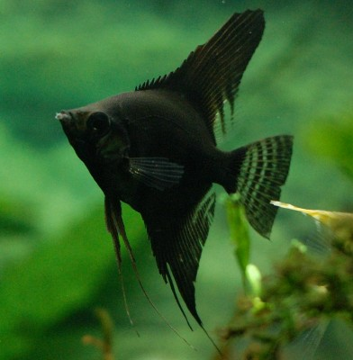 Angelfish - Midnight Double Black - Small - Quantity of 5