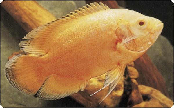 lemon oscar fish - photo #26