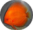 Mandarin Orange Discus Fish - 2 inch