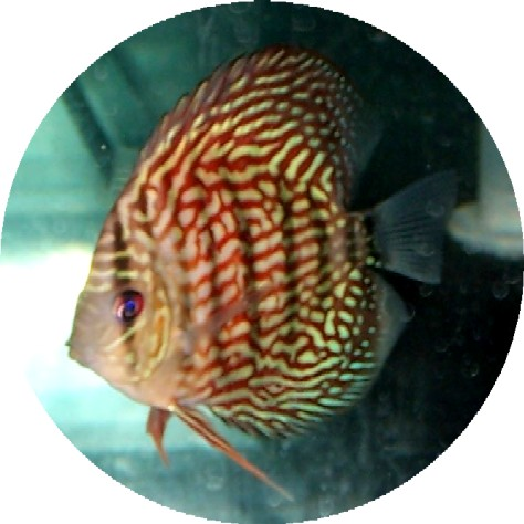 Red Turquoise Discus Fish 2-3 inch