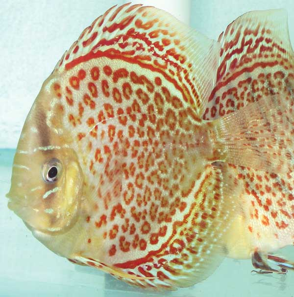 Ring Leopard Discus Fish 3-4 inch