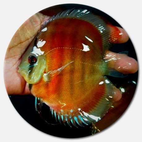 Red Alenquer Discus Fish - 2 inch