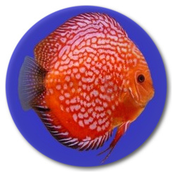 Red Stone Dragon Discus Fish 2-3 inch