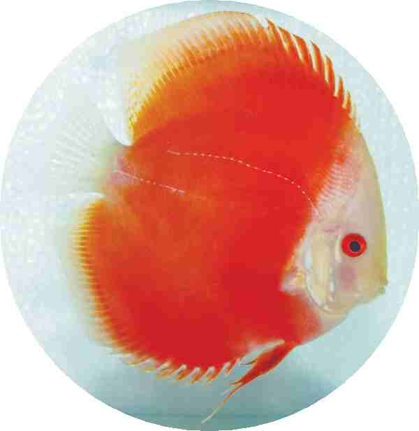 Red Melon Discus Fish 2-3 inch