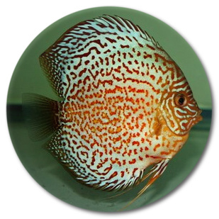 Red Leopard Discus Fish 2-3 inch