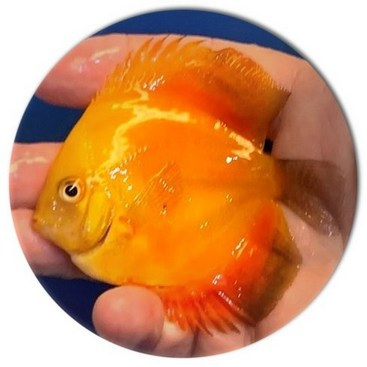 Sunburst Discus Fish - 2.5 inch