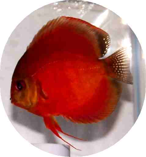 Siam Red Master Discus Fish 2-3 inch