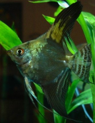 Angelfish - Smokey Half Black Leopard - Small - Quantity of 5
