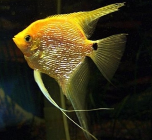 Angelfish - Yellow Platinum Pearlscale - Small